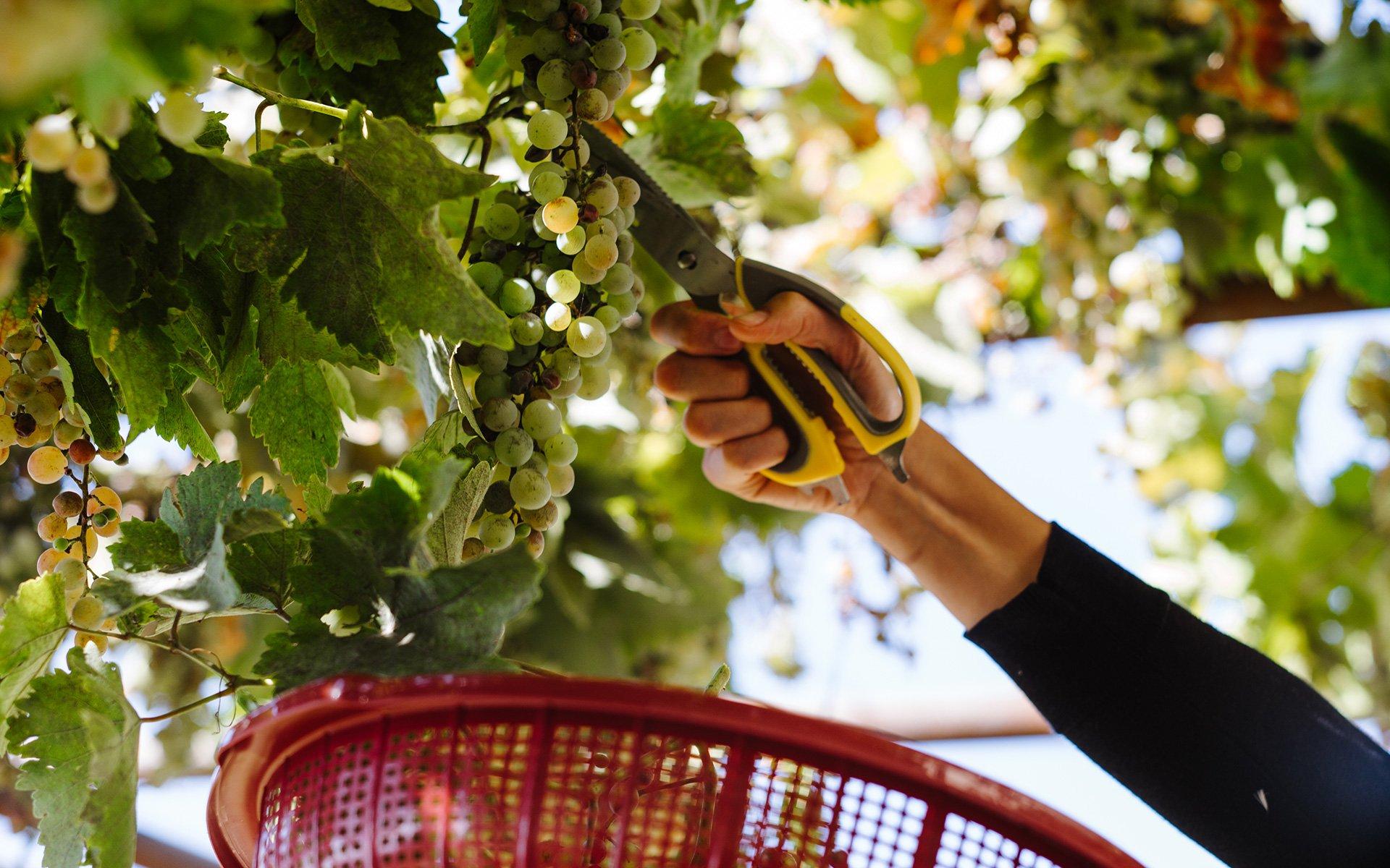 Fruit harvesting_Pelion