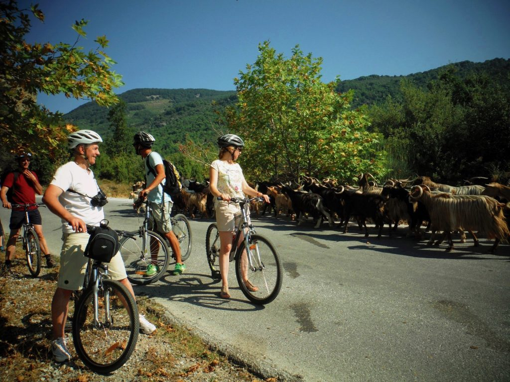 Mountain bikers and goats in Pelion