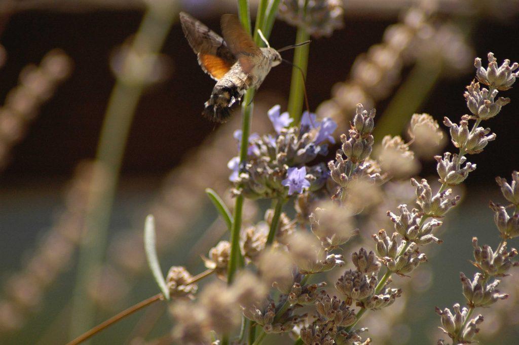 A hummingbird moth in the Pelion Homes retreat centre garden